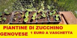 Piantine di zucchino genovese