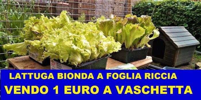 Lattuga Bionda A Foglia Riccia - 1/1