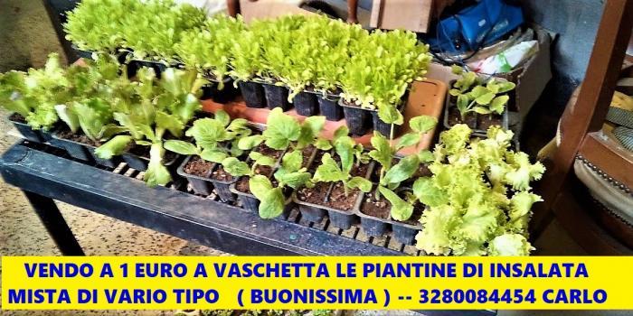 Piantine Miste Di insalate Di Vario Tipo - 2/5